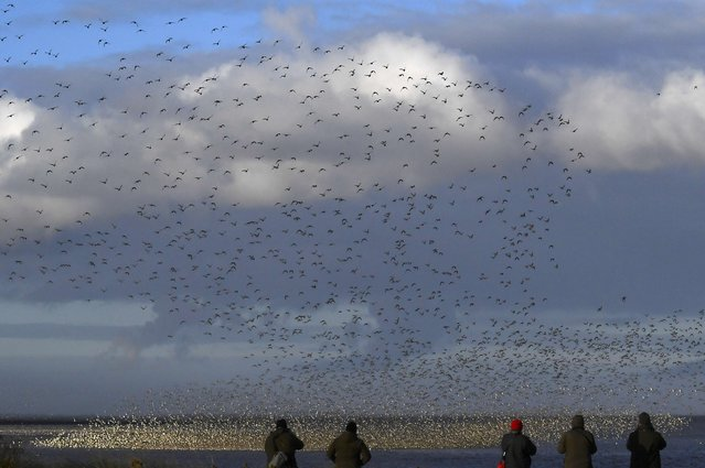 Bird watchers view huge flocks of wading and sea birds flying over the coastline as seasonal high tides force them off their feeding grounds and to move closer to shore near Snettisham in Norfolk, Britain, October 20, 2016. (Photo by Toby Melville/Reuters)