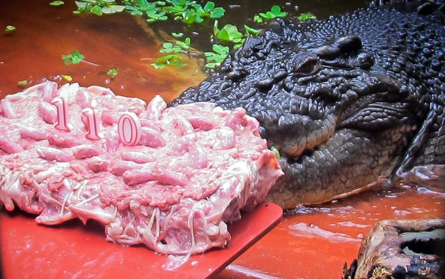 Cassius, the biggest crocodile in the world now, hailing from Australia, celebrated his 110th birthday this week, on May 22, 2013. He was given a cake, especially made with the necks of chicken. The world's largest croc, gobbled away the 20 kg cake garnished with candies along with candles, within a minute. (Photo by Marineland Melanesia/AFP Photo)