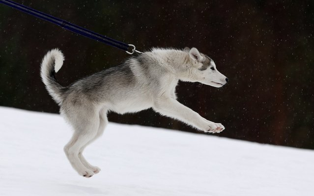 A husky puppy pulls on its leash during a training session at Feshiebridge, in Aviemore, Scotland January 23, 2015. (Photo by Russell Cheyne/Reuters)