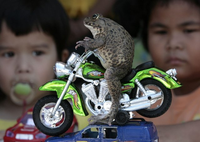 Oui the frog sits on a miniature motorcycle in the eastern beach town of Pattaya, Thailand on January 10, 2008. Tongsai Bamrungthai, the frog's owner, says Oui loves playing with human toys and posing for photographs. (Photo by Sukree Sukplang/Reuters)