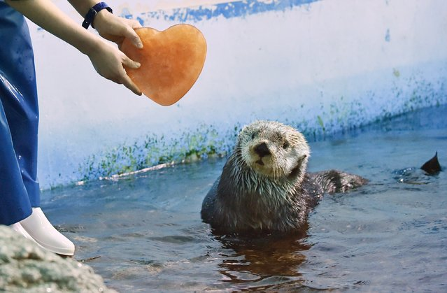 An Alaskan sea otter is given a heart-shaped block of ice, presented by his keeper, inside its enclosure in the aquarium of an amusement park in Yokohama on February 11, 2015. The event takes place once a day for park visitors until February 15 in celebration of Valentine's Day on February 14. (Photo by Kazuhiro Nogi/AFP Photo)