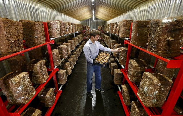 Alex Lussi of Swiss mushroom producer Gotthard-Pilze picks a shiitake mushroom inside a former ammunition bunker of the Swiss Army near the town of Erstfeld, Switzerland August 29, 2015. In eleven former bunkers Gotthard-Pilze produces some 24 tons of shiitake mushrooms per year. (Photo by Arnd Wiegmann/Reuters)