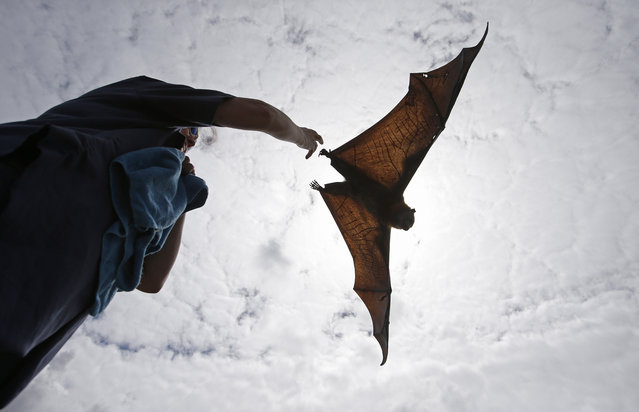 A wildlife carer releases a Grey Headed Flying Fox in Centennial Park in Sydney, Australia, Wednesday, February 5, 2014. (Photo by Rob Griffith/AP Photo)