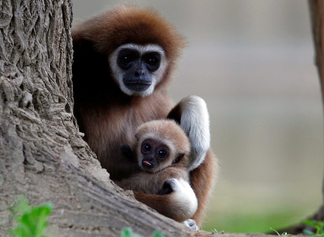 A first white-handed gibbon infant born at the Skopje Zoo is seen with his mother in Skopje, North Macedonia on May 9, 2019. (Photo by Ognen Teofilovski/Reuters)