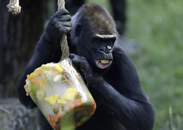 A Western lowland gorilla holds on to her ice cream, prepared from fruits and vegetables, on a hot and sunny day at the Prague Zoo, Czech Republic, Thursday, June 27, 2019. (Photo by Petr David Josek/AP Photo)