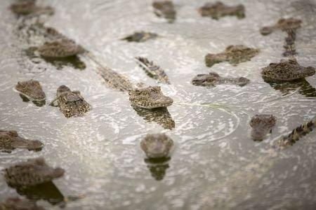 Baby Cuban crocodiles (Crocodylus rhombifer) are seen in a hatchery at Zapata Swamp National Park, June 4, 2015. REUTERS/Alexandre Meneghini