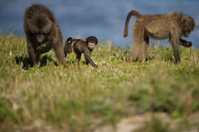 Baby chacma baboons (also called Cape baboons) playing at Cape Point, South Africa on August 5, 2019. (Photo by Dan Callister/Rex Features/Shutterstock)