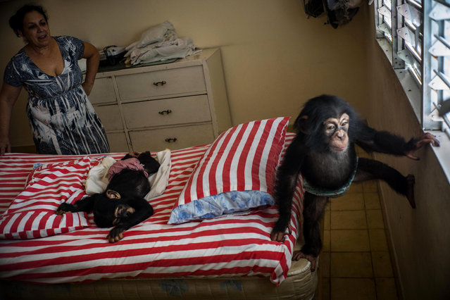 In this April 4, 2017 photo, Biologist Marta Llanes looks at baby chimpanzee Ada, right, while Anuma II, center, sleeps on a bed, at her apartment in Havana, Cuba. While zoos in other countries may have specialized facilities for raising baby animals, in Cuba the job falls to Llanes, a 62-year-old zoologist who has cared for 10 baby chimps in her central Havana apartment since she started work at the city zoo in 1983. (Photo by Ramon Espinosa/AP Photo)