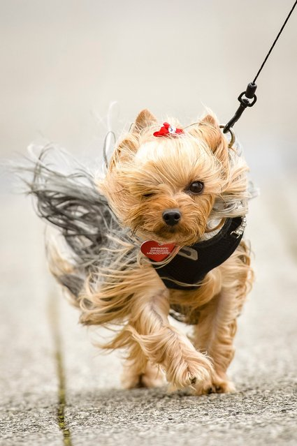 Tilly the three-year-old Yorkshire Terrier is blown by the wind, July 27, 2015, at Porthcawl, South Wales, where high winds are battering the UK. (Photo by Ben Birchall/AP Photo/PA Wire)