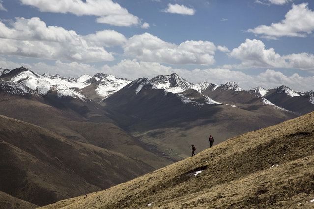Tibetan nomads walk on a hillsode at high altitude as they harvest cordycep fungus on May 19, 2016 near Yushu on the Tibetan Plateau in the Yushu Tibetan Autonomous Prefecture of Qinghai province. (Photo by Kevin Frayer/Getty Images)