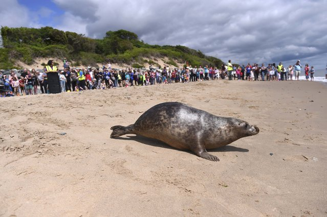 A Common Seal named Stan Lee is released on Courtown beach from Seal Rescue Ireland wildlife sanctuary where two rescued and rehabilitated seals are released back into the sea after months of care in Wexford, Ireland, June 12, 2016. (Photo by Clodagh Kilcoyne/Reuters)