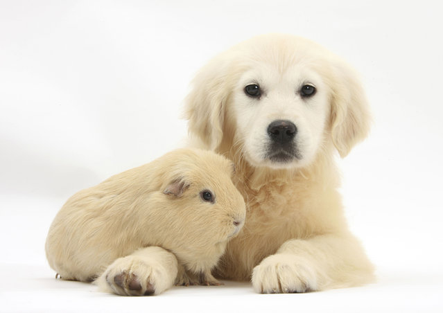 A 16-week-old golden retriever pup poses for Taylor with a guinea pig