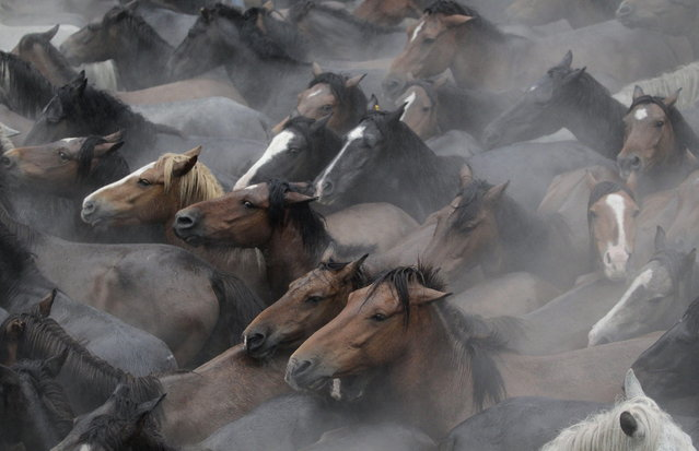 "Wild horses are seen gathered during the ""Rapa Das Bestas"" traditional event in the Spanish northwestern village of Sabucedo July 5, 2014. On the first weekend of the month of July, hundreds of wild horses are rounded up, trimmed and groomed in different villages in the Spanish northwestern region of Galicia. (Photo by Miguel Vidal/Reuters)"