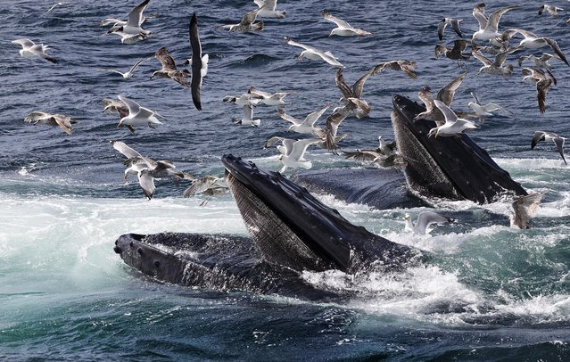 A photo distributed on Jule 14, 2014 shows humpback whales feeding at the Stellwagen Bank National Marine Sanctuary off Cape Cod near Provincetown on July 9. Humpbacks, which are about the length of a school bus and weigh 40 tons, use teamwork to round up tiny fish like the sand lance by  blowing nets of bubbles to scare the schools into tighter groups.  (Photo by J. Scott Applewhite/Associated Press)