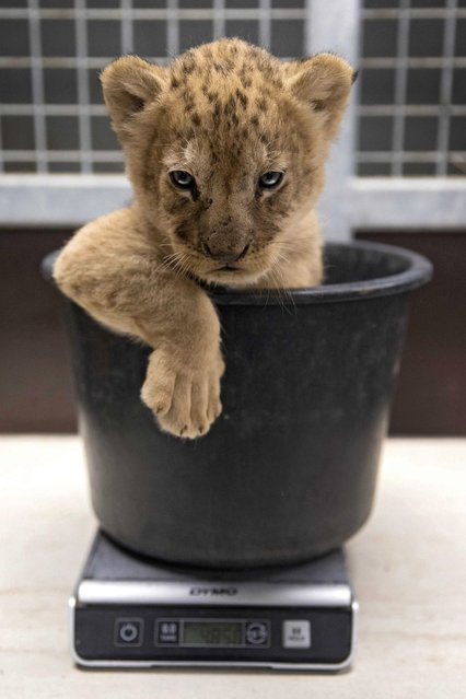 One of three lion cubs that were born at Gaia Zoo sits in a bucket to be weighed in Kerkrade, the Netherlands, 05 July 2016. During the presentation, the cubs were measured, their s*x determined and vaccinated. (Photo by Marcel van Hoorn/EPA)