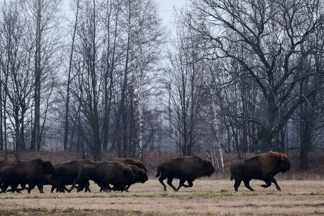 European bisons run across a field near the village of Azerany, some 250 km south of Minsk, on January 7, 2020. (Photo by Sergei Gapon/AFP Photo)