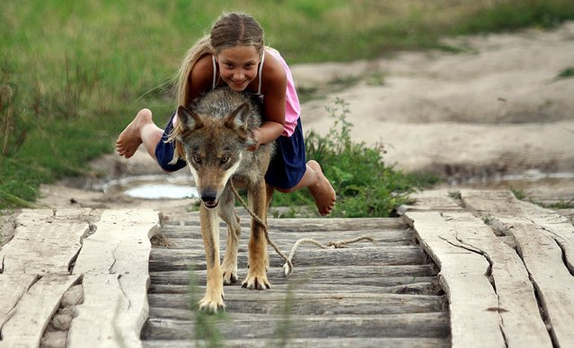 Alisa, 10, a daughter of a local gamekeeper Oleg Selekh plays with a tame wolf in the village of Zacherevye, some 250 kms north from Minsk, on August 17, 2014.  The family took a few wild wolfs five years ago and domesticated them. (Photo by Sergei Gapon/AFP Photo)