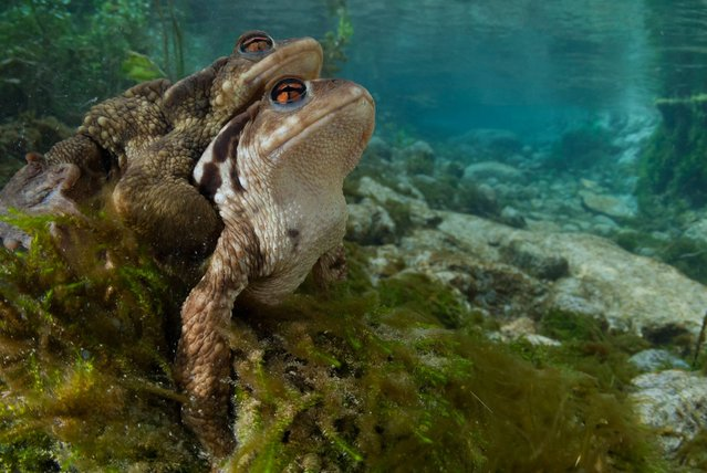 Common toads mating in a crystal-clear stream, Italy. (Photo by Angel Fitor/Wildscreen Photography Festival 2014)