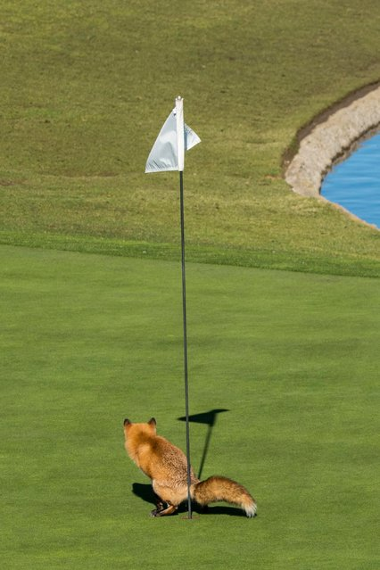 "A red fox surveys his shot in Douglas Croft's ""Must Have Three-Putted"", on January 25, 2017 in San Jose, California. (Photo by Douglas Croft/Comedy Wildlife Photography Awards/Barcroft Media)"