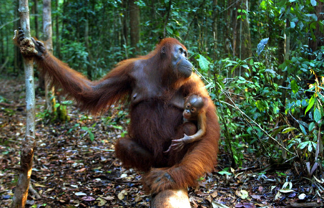 A baby Orangutan hangs onto it's mother September 1, 2001 near Camp Leakey at the Tanjung Puting National Park in Kalimantan on the island of Borneo, Indonesia. (Photo by Paula Bronstein/Getty Images)