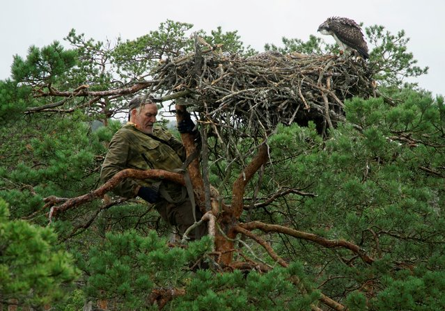 """Belarusian ornithologist Vladimir Ivanovski, 73, climbs a tree with a nest of osprey chicks during the monitoring of nests of birds of prey, in a marsh at the Republican reserve """"Koziansky"""" near the remote village of Kaziany, Belarus, July 12, 2020. (Photo by Vasily Fedosenko/Reuters)"""