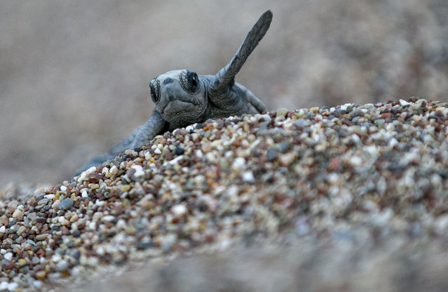 A caretta caretta pup is seen at Cirali Beach as they in a process of hatching and meeting the sea in Kemer district of Antalya, Turkey on July 22, 2020. 6 caretta caretta pups came out of the nest opened by the officials met the sea in the early morning. (Photo by Mustafa Ciftci/Anadolu Agency via Getty Images)