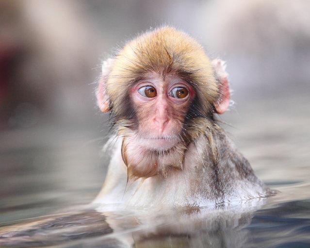 """Bathing Little Child in a Hot Spring. Snow monkey at """"Jigokudani hot-spring"""" in Nagano, Japan. (Kiyoshi Ookawa)"""