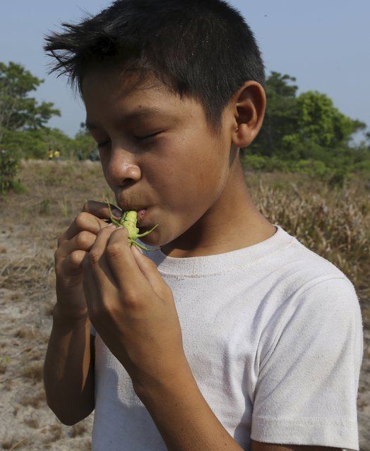 A indigenous boy from the Kamayura tribe eats a grasshopper in thier village at the Xingu national park in Mato Grosso, Brazil, October 3, 2015. Around 300 indigenous people live in the Kamayura territory, which is a part of 16 ethnic groups living in the indigenous Xingu national park. (Photo by Paulo Whitaker/Reuters)