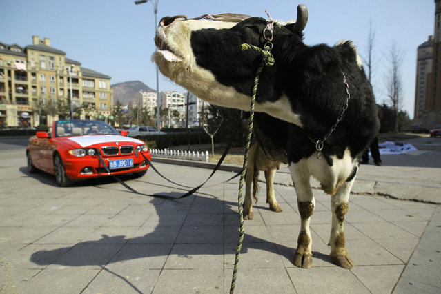 A cow is attached to a BMW car in Qingdao, Shandong province, February 20, 2013. The driver of a damaged BMW had tethered the cow to his vehicle to express his anger towards a garage which he believed not only aggravated the damages to his car, but had also refused to compensate him for it. (Photo by China Daily)