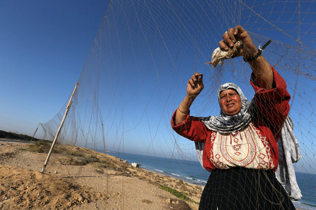 A woman takes out a quail from a net after catching it on a beach in the central Gaza Strip September 20, 2016. (Photo by Ibraheem Abu Mustafa/Reuters)