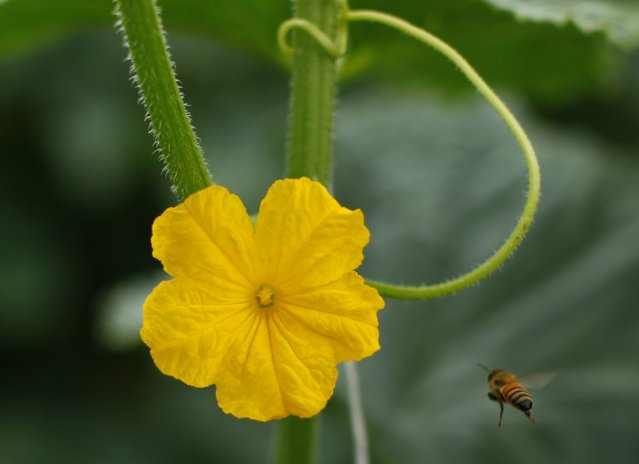 A Japanese cucumber flower grows on the Chino family farm in Rancho Santa Fe, California August 12, 2014. (Photo by Mike Blake/Reuters)