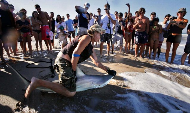Surrounded by a crowd of curious beachgoers, Tom Kieras, a shark fisherman from Jupiter who works to spread information about sharks and protect them, holds down a blacktip while Jorgensen and Unger prepare to take samples. (Photo by Lannis Waters/Palm Beach Daily News)