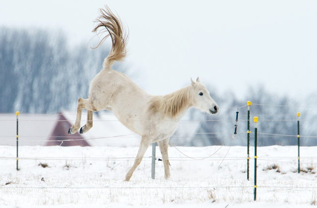 A horse is pictured in Wilkenburg near Hanover, Germany on March 12, 2013. Winter came back to wide parts of the country, bringing snow and cold temperatures. (Photo by Julian Stratenschulte/AFP Photo)