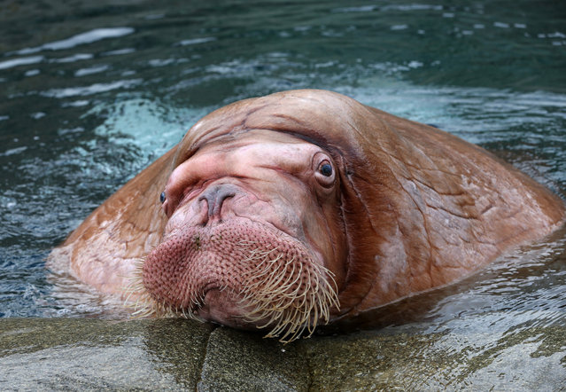 Male walrus Odin is pictured in the Polar Sea enclosure at the Hagenbeck Zoo in Hamburg, Germany, on March 26, 2013. After long preparations four walruses have been brought from the zoo in Moscow to Hamburg.  (Photo by Christian Charisius)