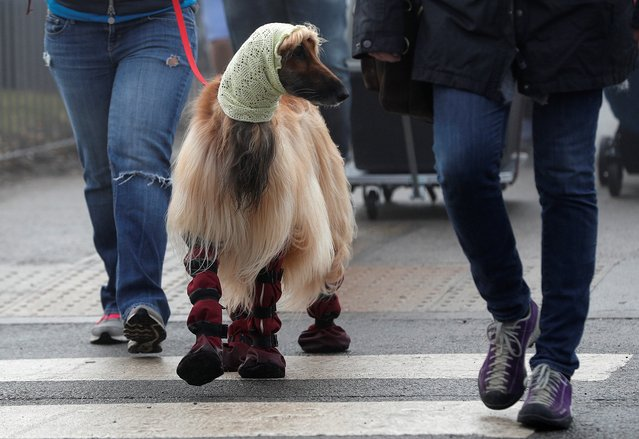 An Afghan hound arrives for the second day of the Crufts Dog Show in Birmingham, Britain March 9, 2018. (Photo by Darren Staples/Reuters)