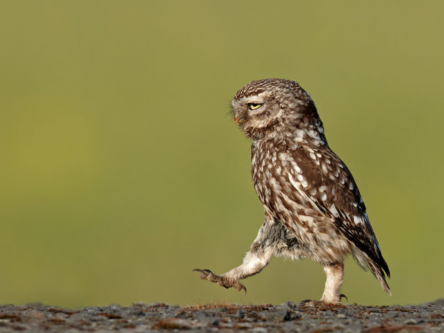 A wild owl appears to be marching in a very serious manner, Lancashire, UK, June, 2011. (Photo by Austin Thomas/Barcroft Images/Comedy Wildlife Photography Awards 2016)