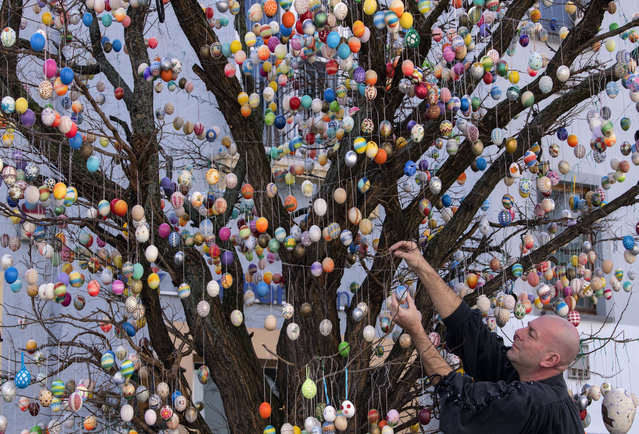 Uwe Gerstenberg fixes Easter eggs on a robinia tree with more than 10,000 painted Easter eggs in Saalfeld, central Germany, Friday, March 30, 2018. (Photo by Jens Meyer/AP Photo)