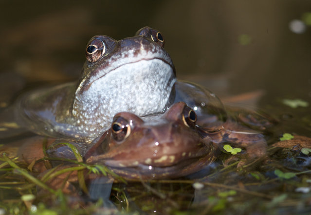 A male frog embraces a female in a pond in the UK. Males have nuptial pads that help them to hold on during amplexus, a coupling that can last for days as the male waits for the female to lay her eggs. (Photo by John Beatty)