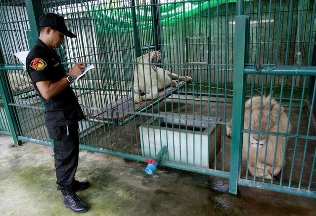 A Thai forestry official takes a note as he examines lions in the enclosure at a zoo-like house on the outskirts of Bangkok, Thailand Monday, June 10, 2013. (Photo by Apichart Weerawong/AP Photo)