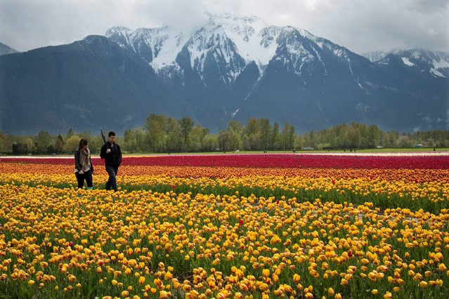 A couple walk along a row of tulips during the Tulips in the Valley Festival in Agassiz, B.C., Canada, Sunday, April 27, 2014. (Photo by Jonathan Hayward/AP Photo/The Canadian Press)