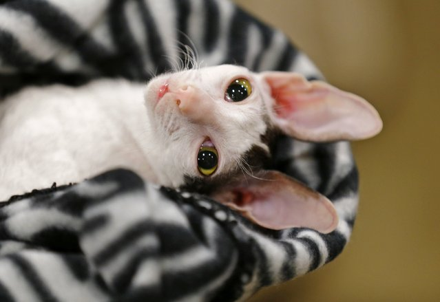 A Cornish Rex looks out from a blanket at the annual cat show in Del Mar, California January 24, 2015. (Photo by Mike Blake/Reuters)