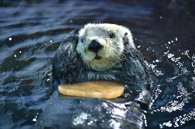 An Alaskan sea otter swims holding a heart-shaped block of ice, presented by his keeper in the aquarium of an amusement park in Yokohama on February 11, 2015. (Photo by Kazuhiro Nogi/AFP Photo)