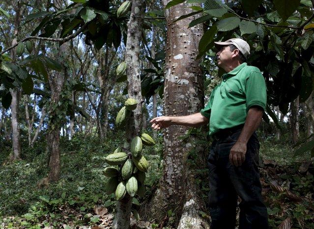 A farmer stands near cocoa fruit in a cocoa plantation at the San Miguel farm in Matagalpa, Nicaragua January 8, 2016. (Photo by Oswaldo Rivas/Reuters)