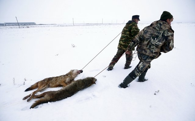 Hunters drag wolves killed in a field near the village of Khrapkov, Belarus, January 27, 2016. Wolves, foxes and raccoon dogs can be hunted all year around as they are not wanted in Belarus, the keepers said. (Photo by Vasily Fedosenko /Reuters)