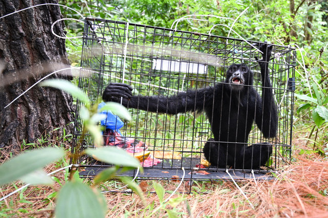 A black gibbon is seen in a cage before being released into the wild by Indonesian nature conservation agency (BKSDA) in Jantho forest, Aceh province on August 26, 2021. (Photo by Chaideer Mahyuddin/AFP Photo)
