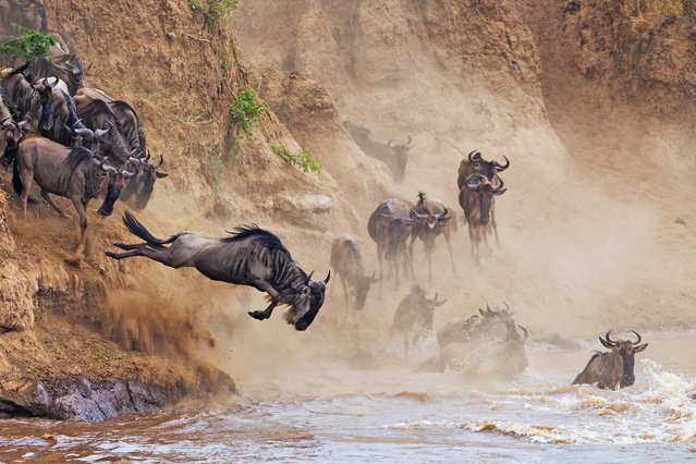 """""""Leap of faith"""". Maasai Mara national reserve, Narok County, Kenya. """"This photograph was taken during east Africa's annual wildebeest migration"""". (Photo by Ricardo Cisneros)"""