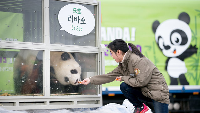A keeper feeds panda named Lebao, which means pleasant treasure, during a welcoming ceremony for a pair of giant pandas coming from China, at a cargo terminal of the Incheon International Airport, in Incheon, South Korea, March 3, 2016. (Photo by Ha Sa-hyun/Reuters/Yonhap)