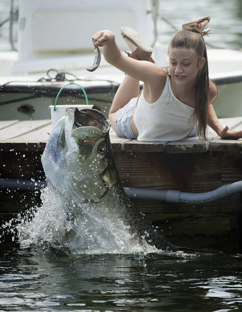 Gabrielle Drenga, from Norwich, Conn., feeds one of the giant tarpons in Islamorada, Fla. on Friday, May 8, 2015 at Robbie's Marina, where visitors can see 50 to 100 of the fish swimming around the dock in clear water only a few feet deep. The game fish grow to five to eight feet long and weigh 80 to 150 pounds. (Photo by J. Pat Carter/AP Photo)