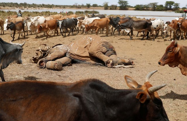 Cows belonging to Samburu tribesmen walk around the carcass of an elephant killed by armed cattle herders in Mugui Conservancy, Kenya February 11, 2017. (Photo by Goran Tomasevic/Reuters)