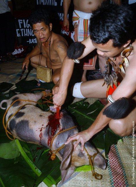 Filipino tribal leaders kill a pig